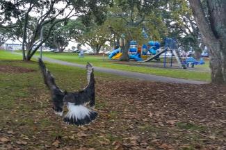 Gull landing in a park