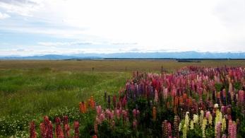 Canterbury wild flowers