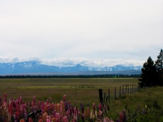 Wildflowers Alps